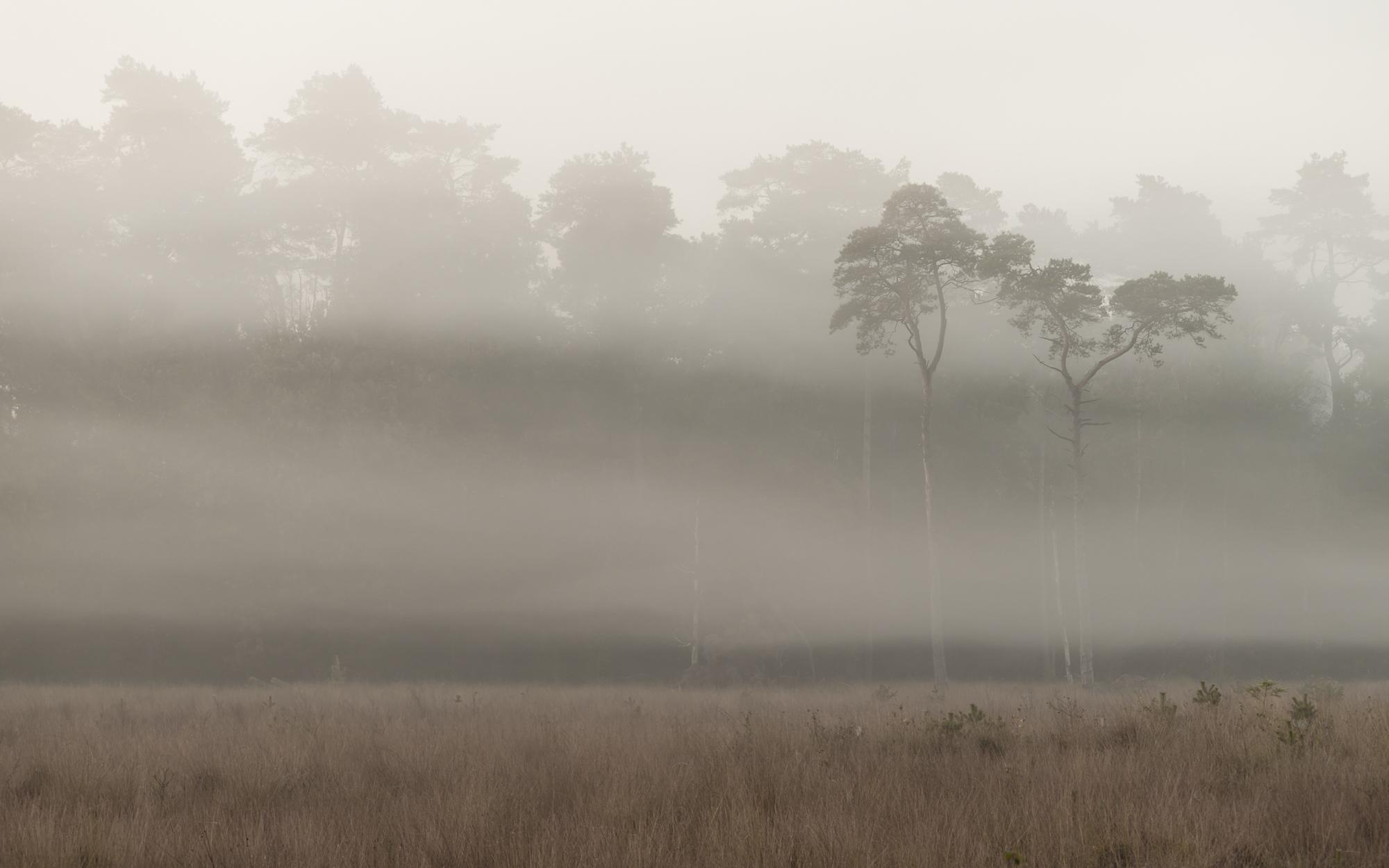 Berkenbomen in de mist, Leusden