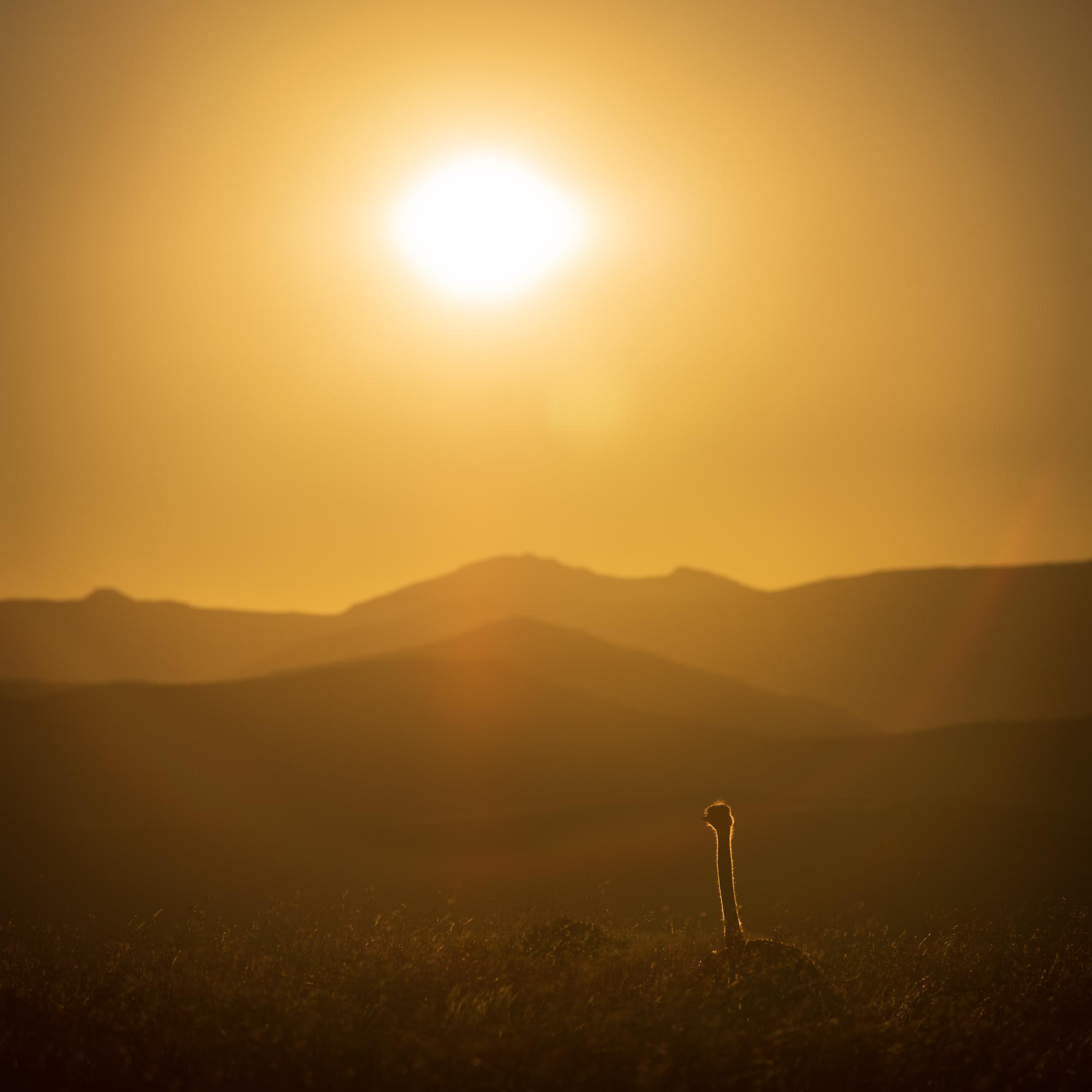 Struisvogel in de zon