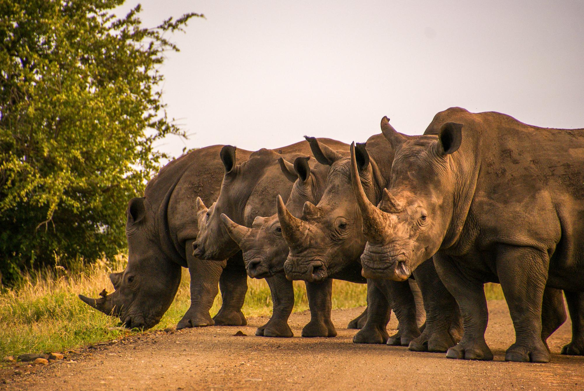5 neushoorns in Kruger