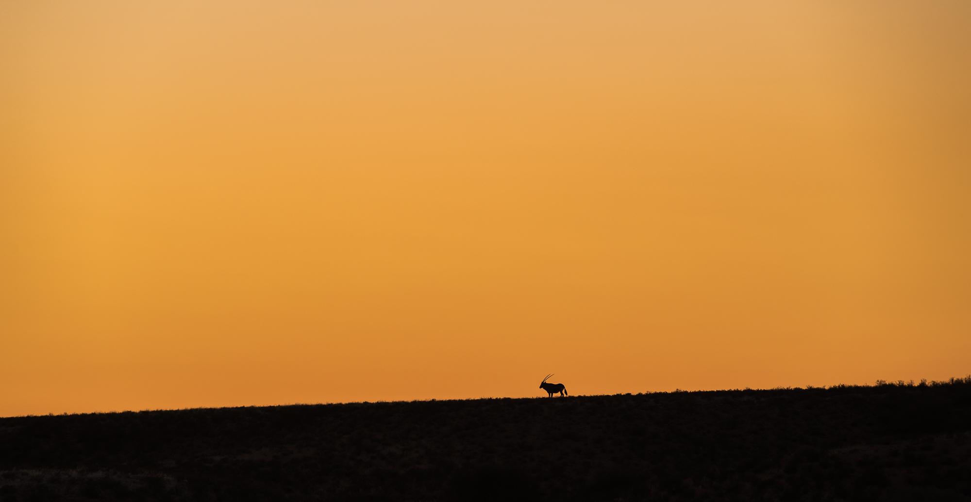 Gemsbok tijdens zonsopkomst in Kgalagadi