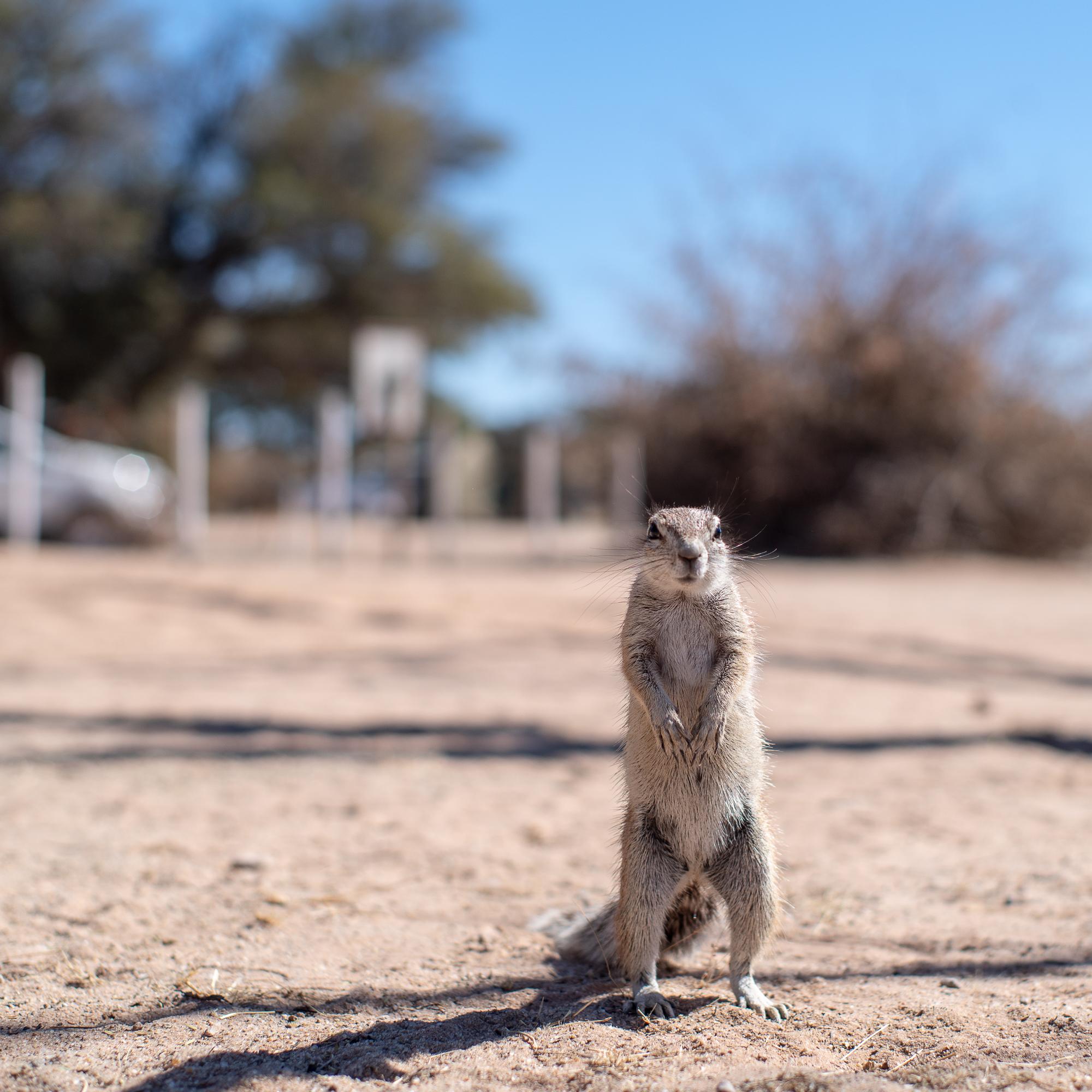 Een hoopvolle grond eekhoorn. Mata Mata , Kgalagadi.