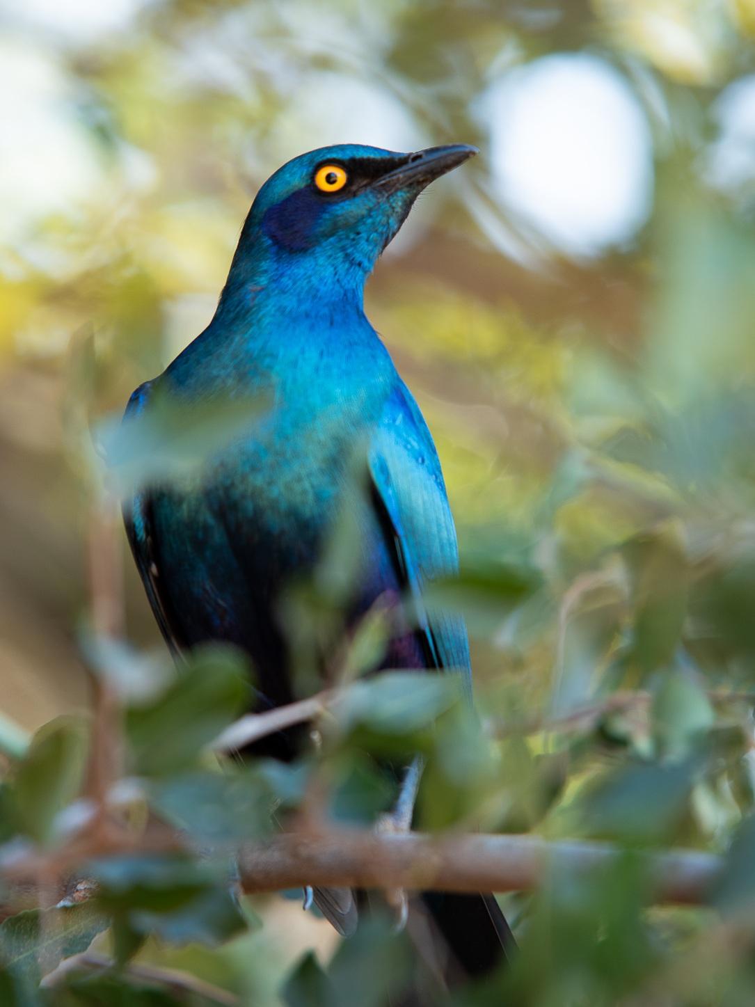 Een cape starling, een mooi gekleurde vogel.