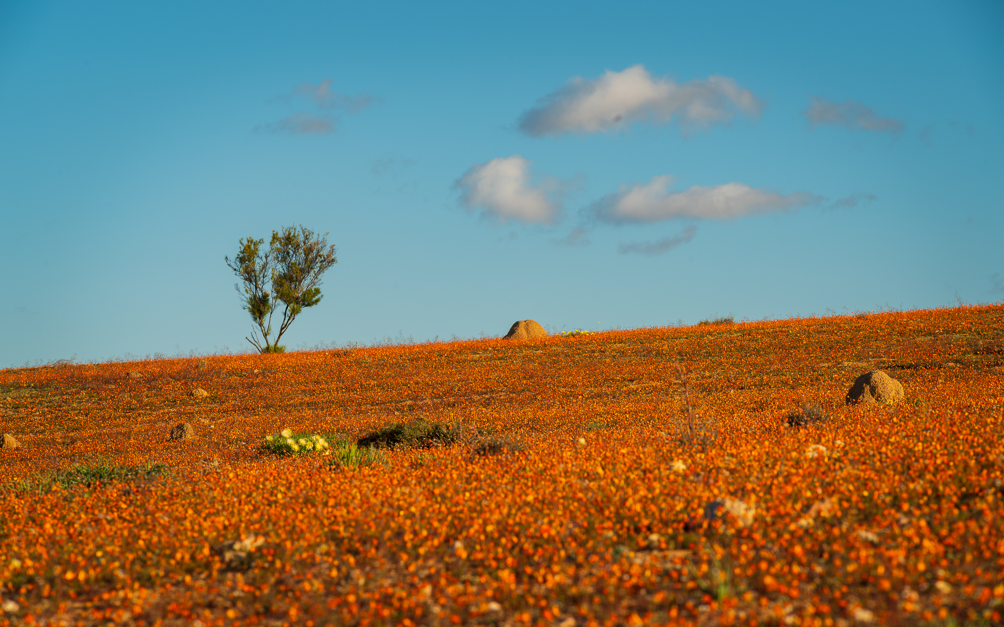 Oranje bloemen in Namaqua land National Park