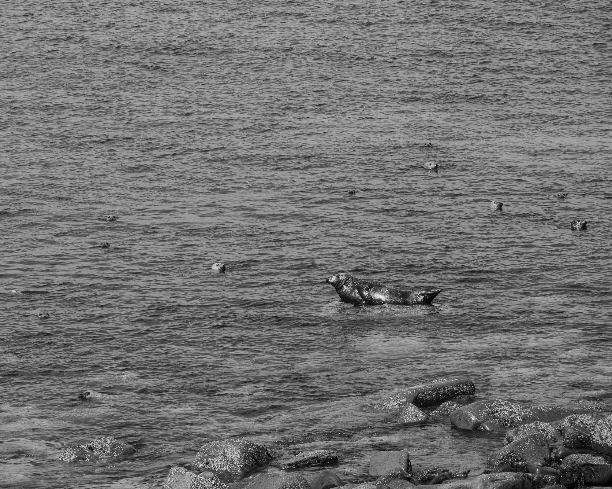 Zeehonden op Great Saltee (f6.3, 1/320,iso 100)