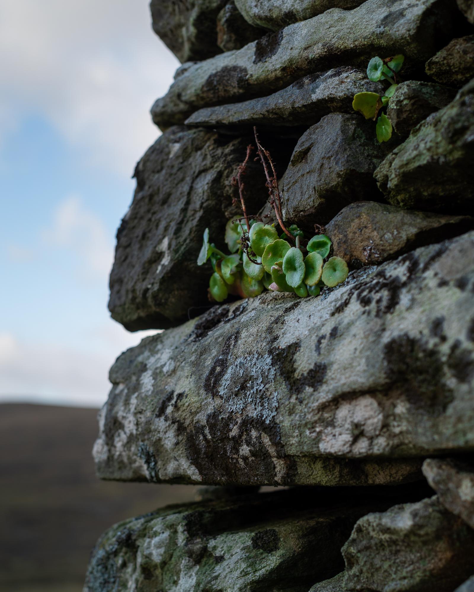 Planten op een vervallen huis, Achill island