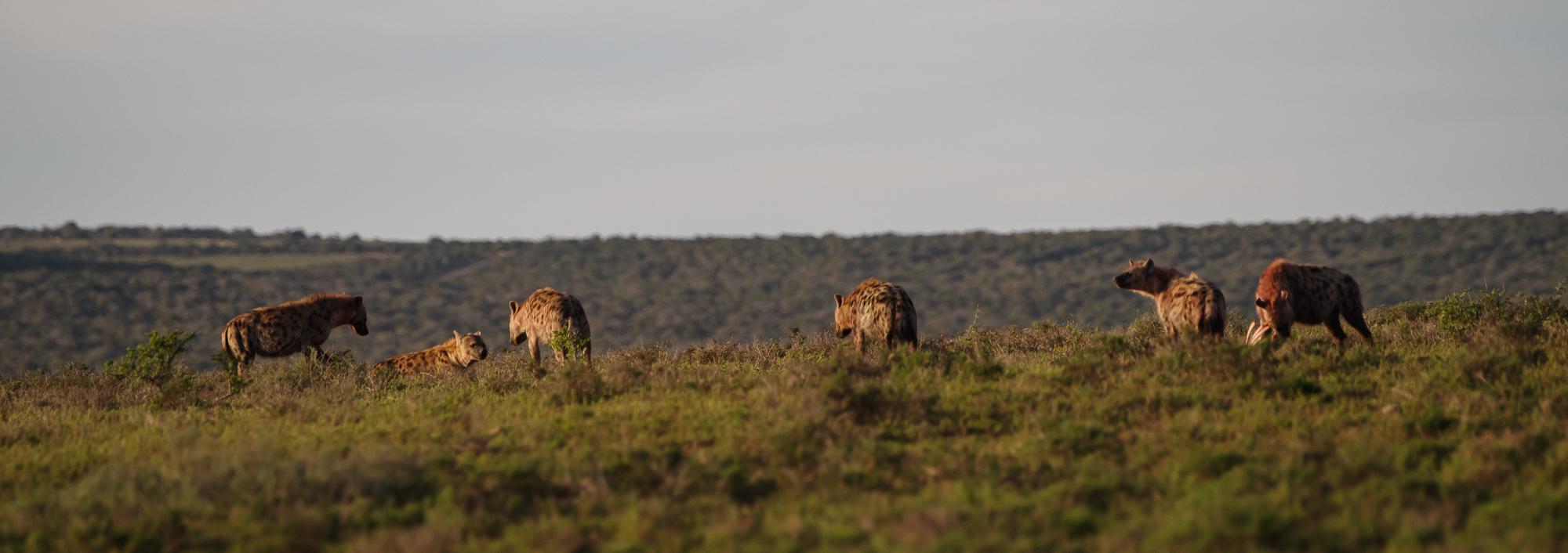 De hyena's met de vangst