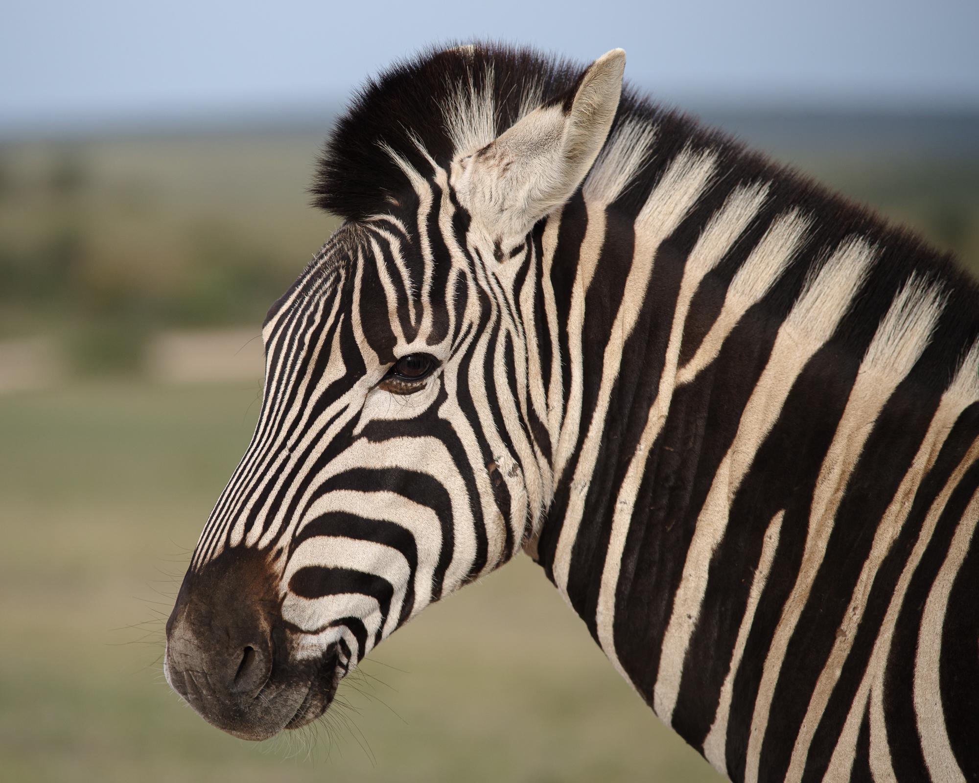 Portret van een zebra in Addo