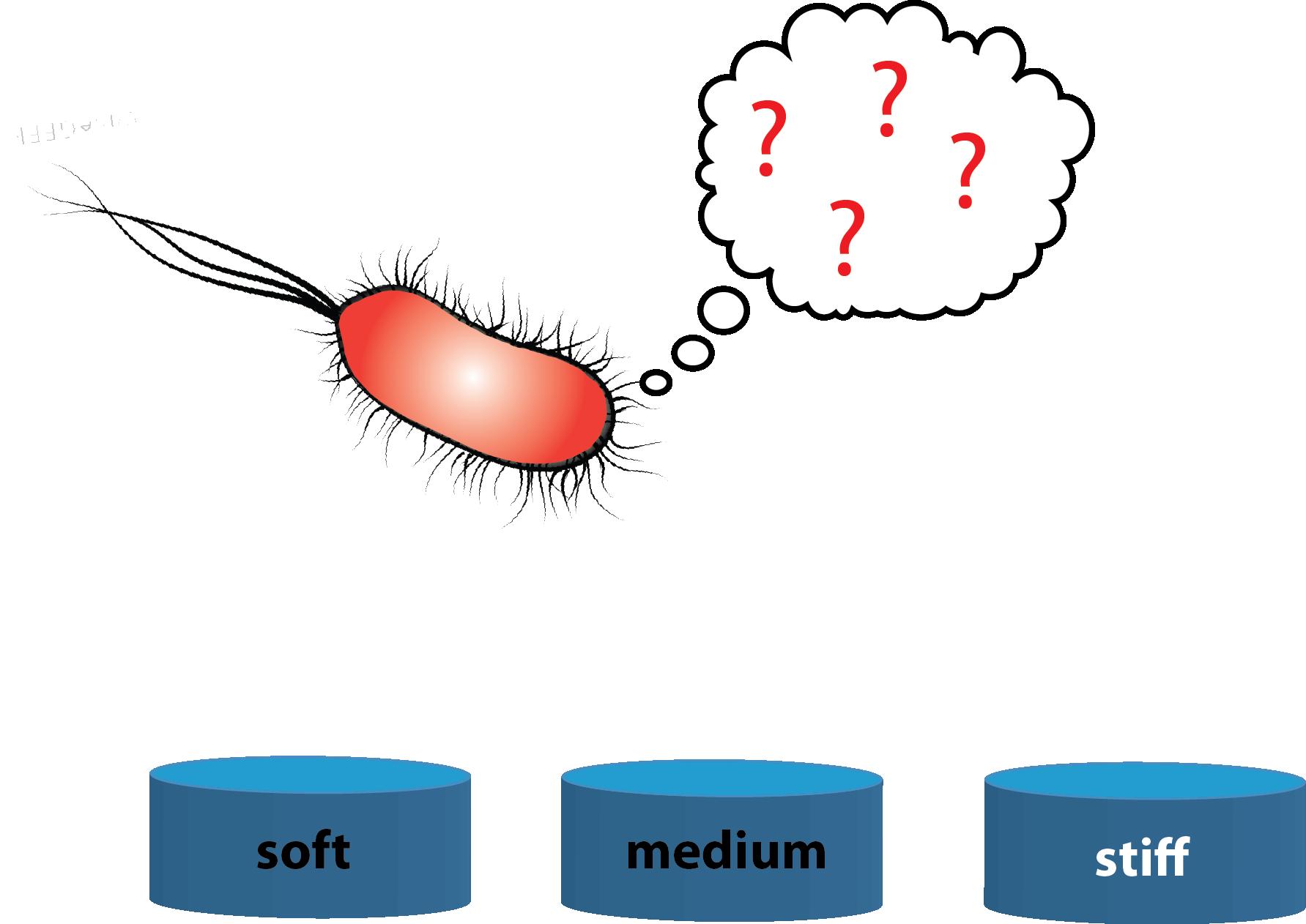 rigidity sensing in bacteria.png