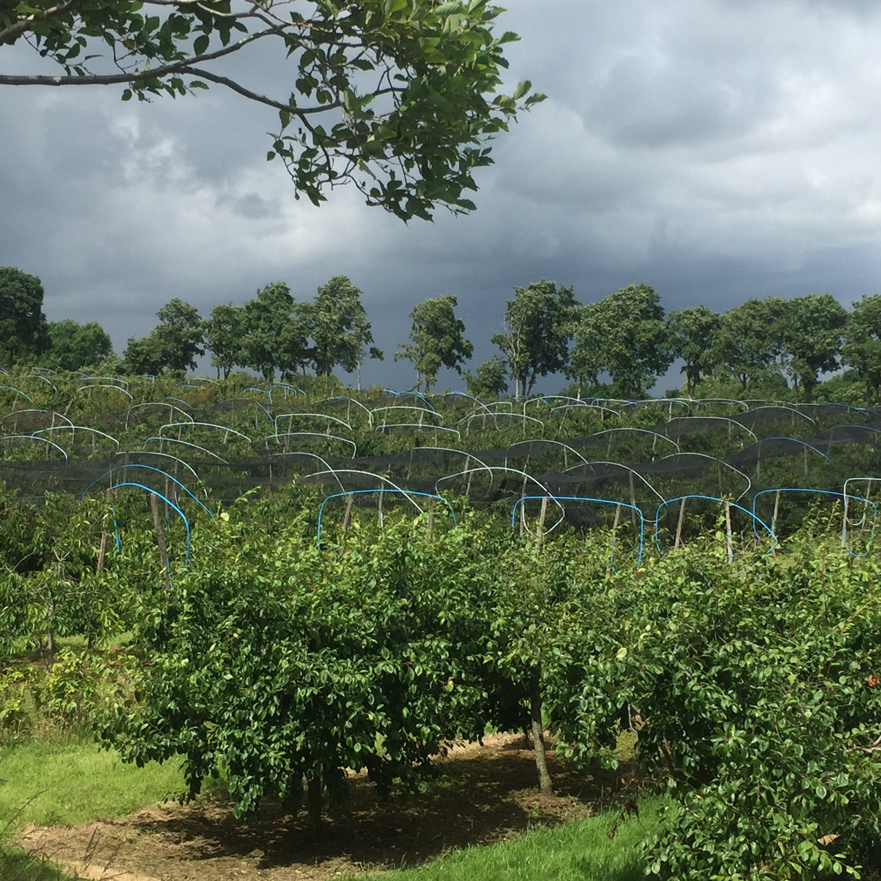 Netted Cherry Trees- no birds allowed!