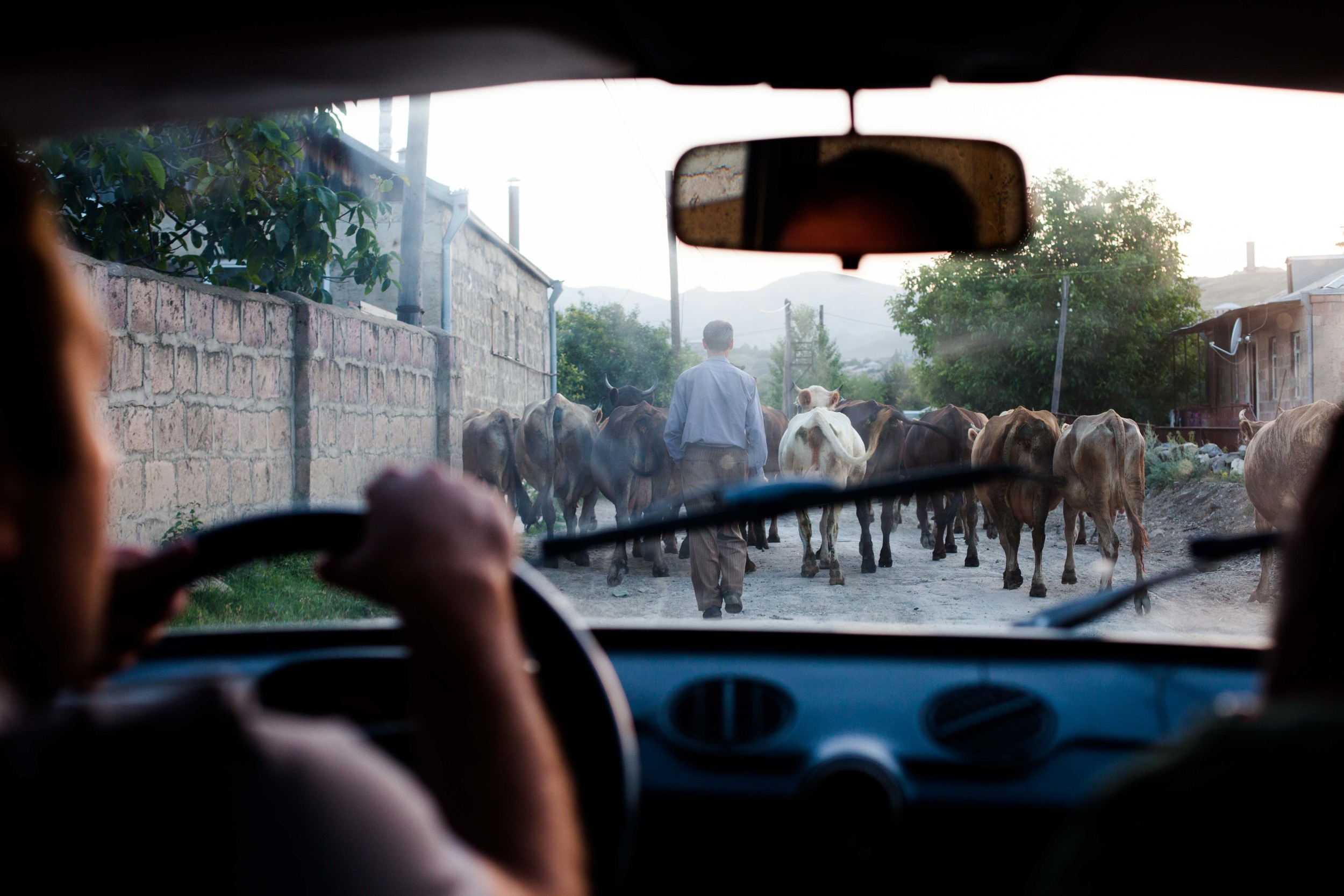A traffic jam on a Spitak evening is caused by the herd of local cows being brought back home from the fields.