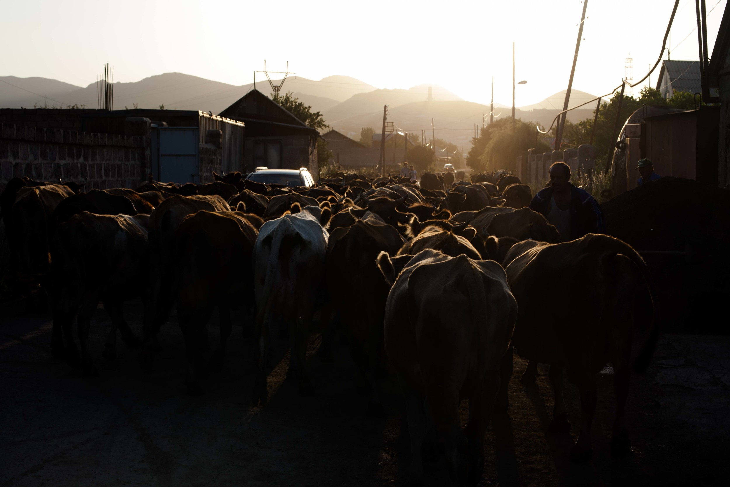 The cows from a neighborhood in Spitak return home just before sunset.