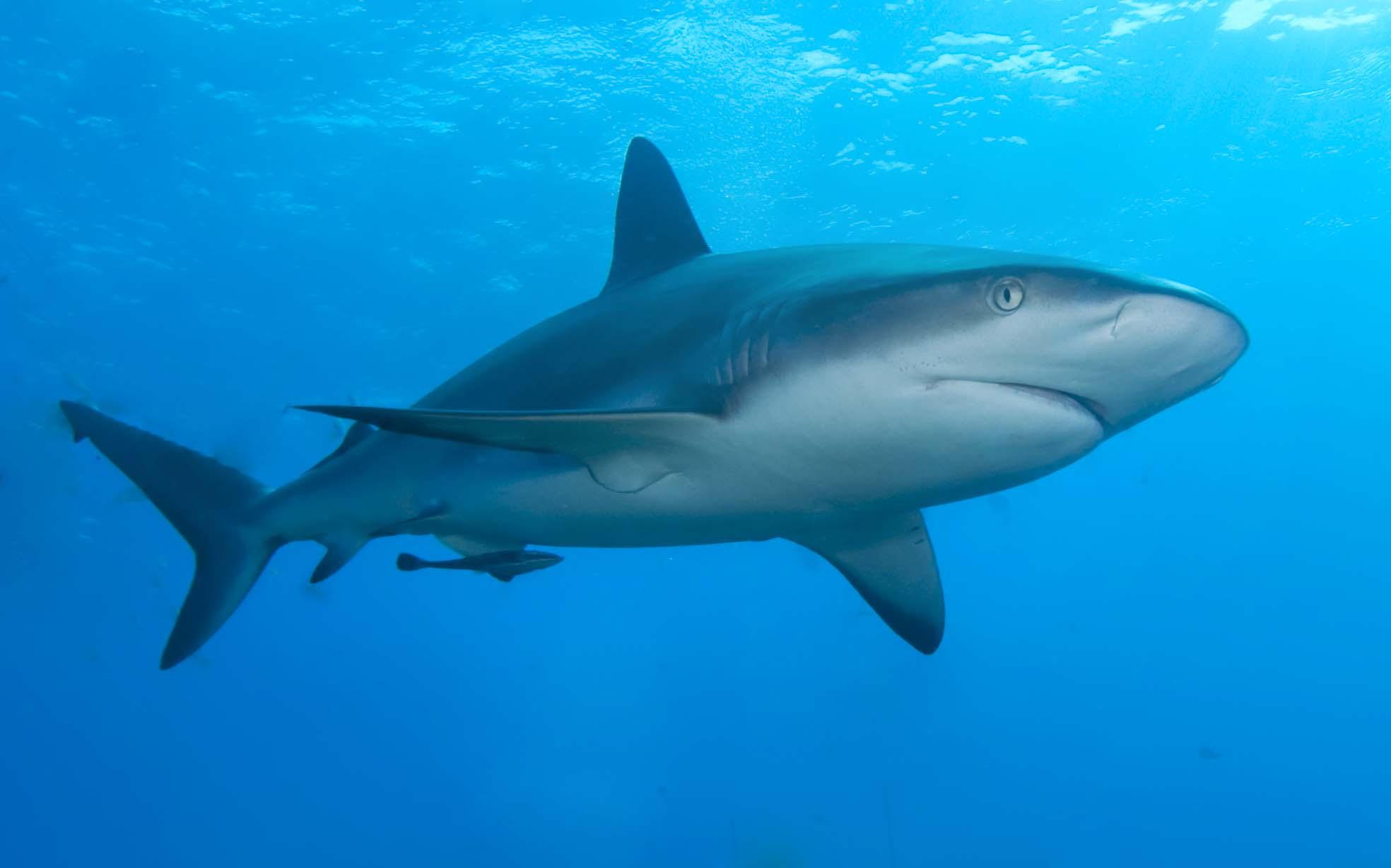 Caribbean_reef_shark.jpg