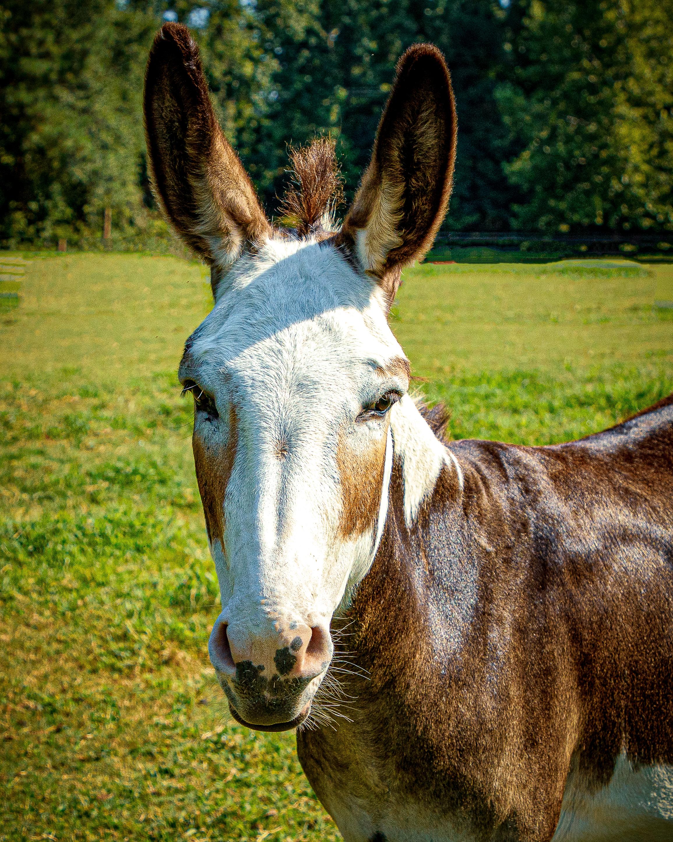 Rosie the Donkey