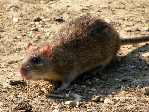 swansea rat pest control