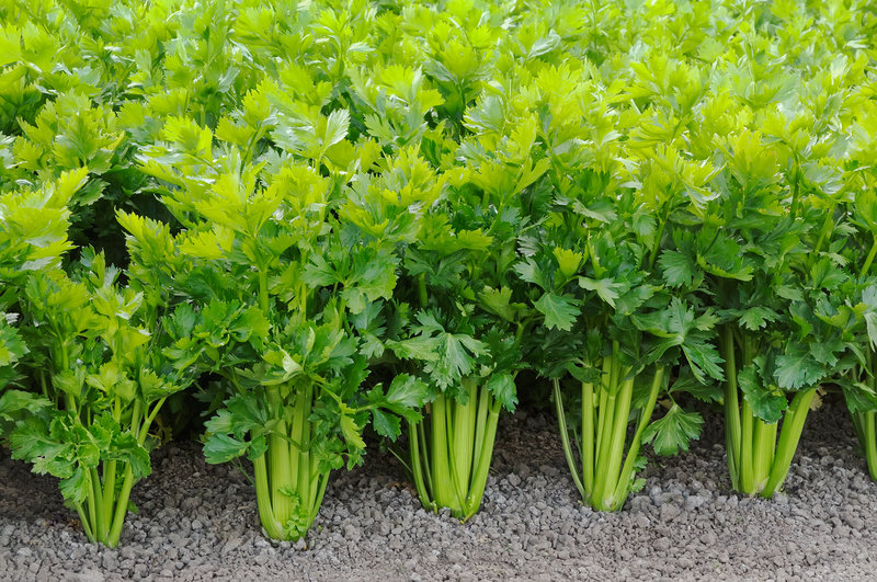 Oh yes we did. Just a picture of celery. We ain't fancy.