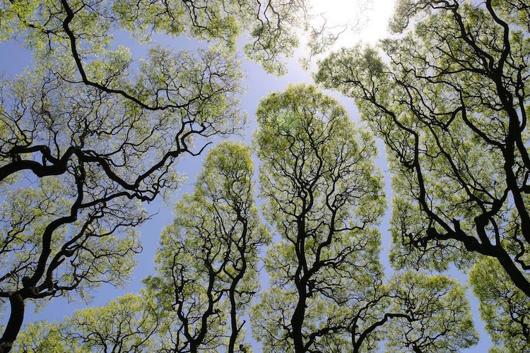 Trees exhibiting crown shyness create mesmerizing artwork against the palette of the sky
