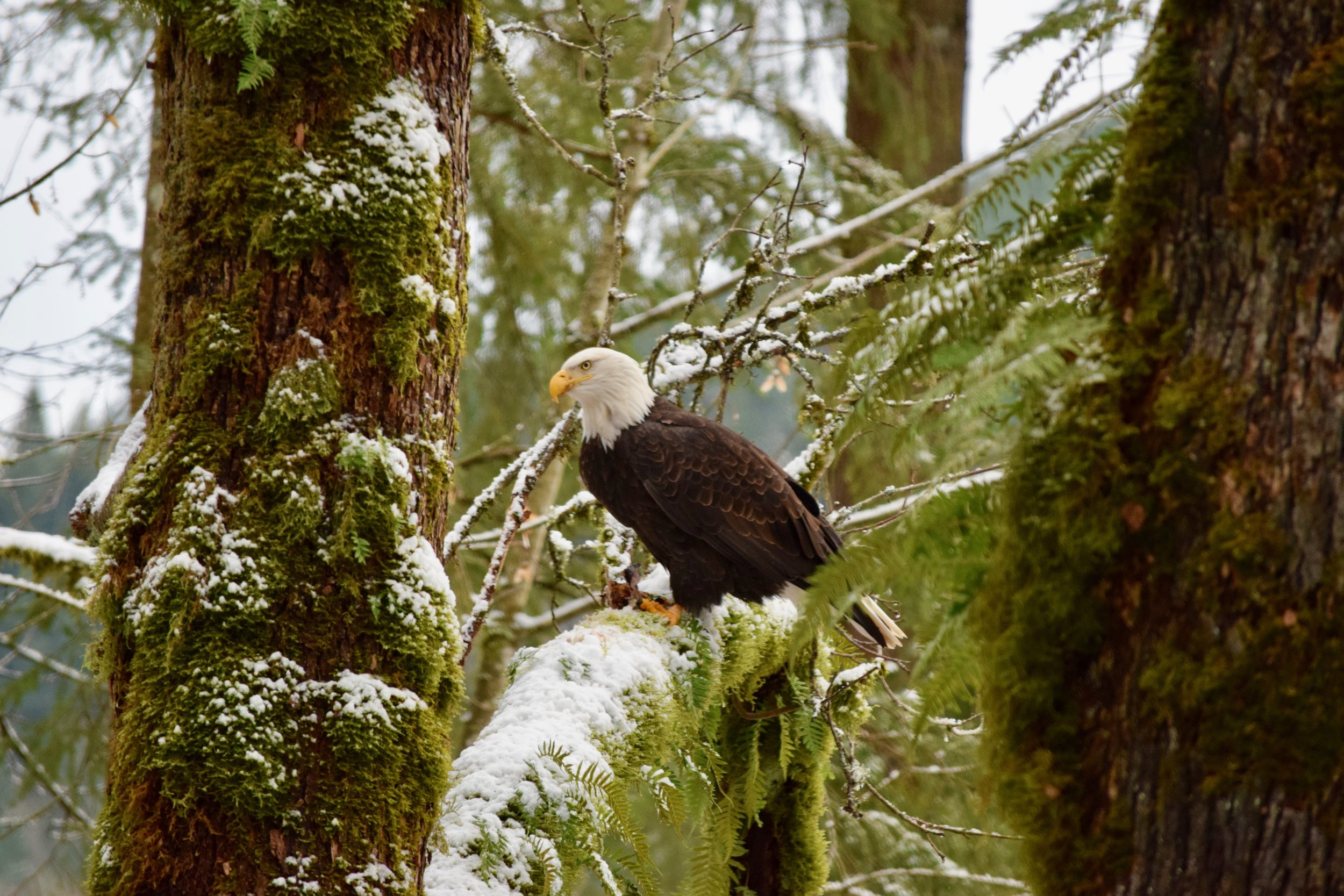 Eagle in the tree