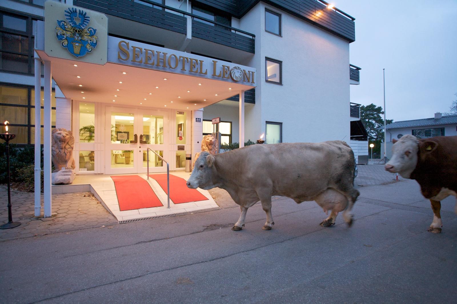 Kühe vor seehotel.jpg