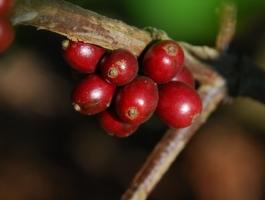 Cerise de café