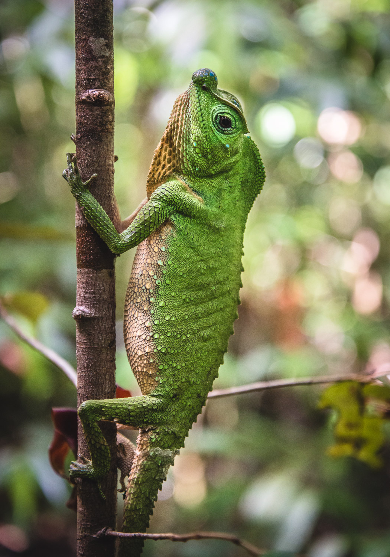 Nose humped lizard
