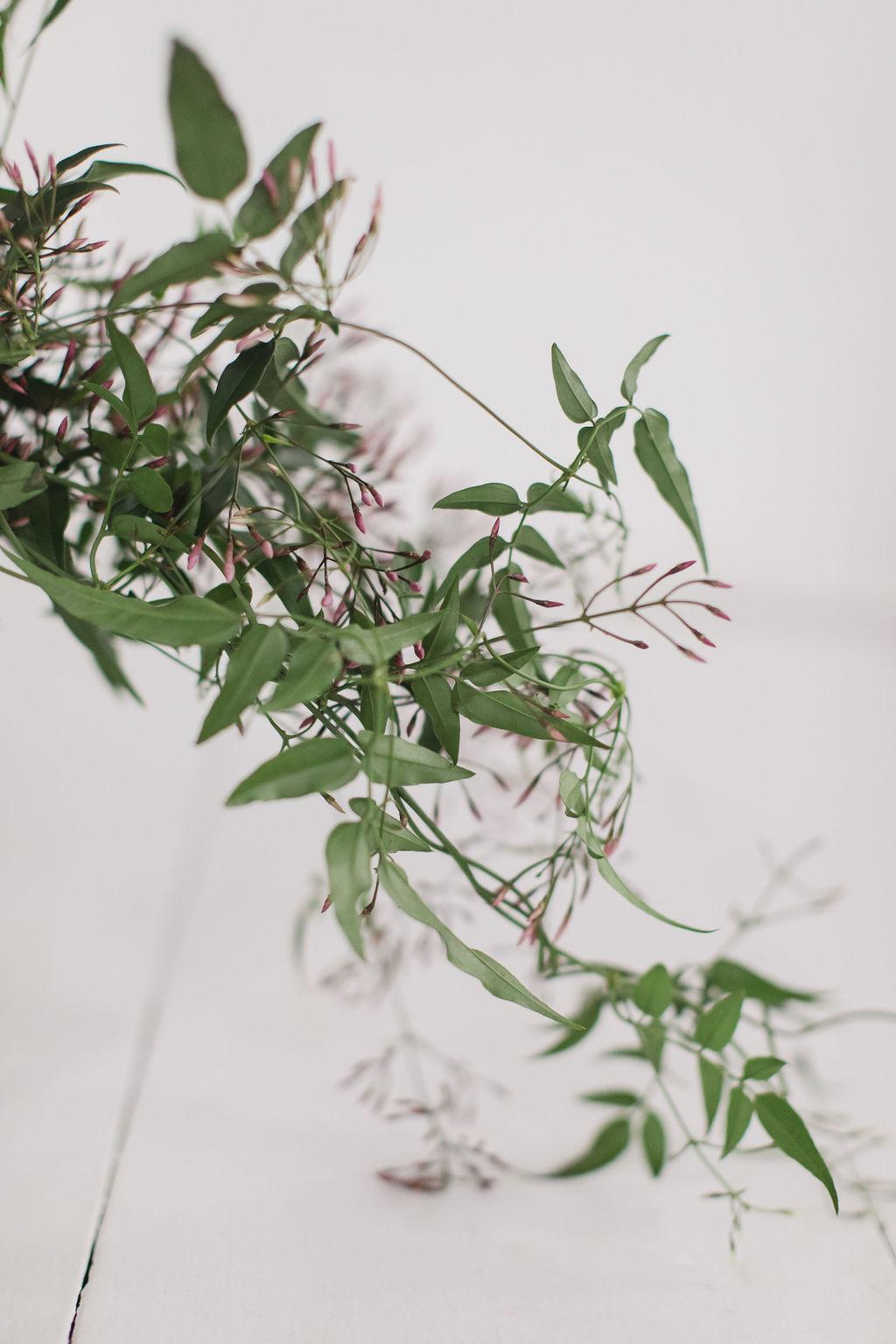 Blooming jasmine vine