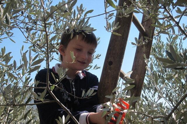(Willie's first olive harvest, 2011)