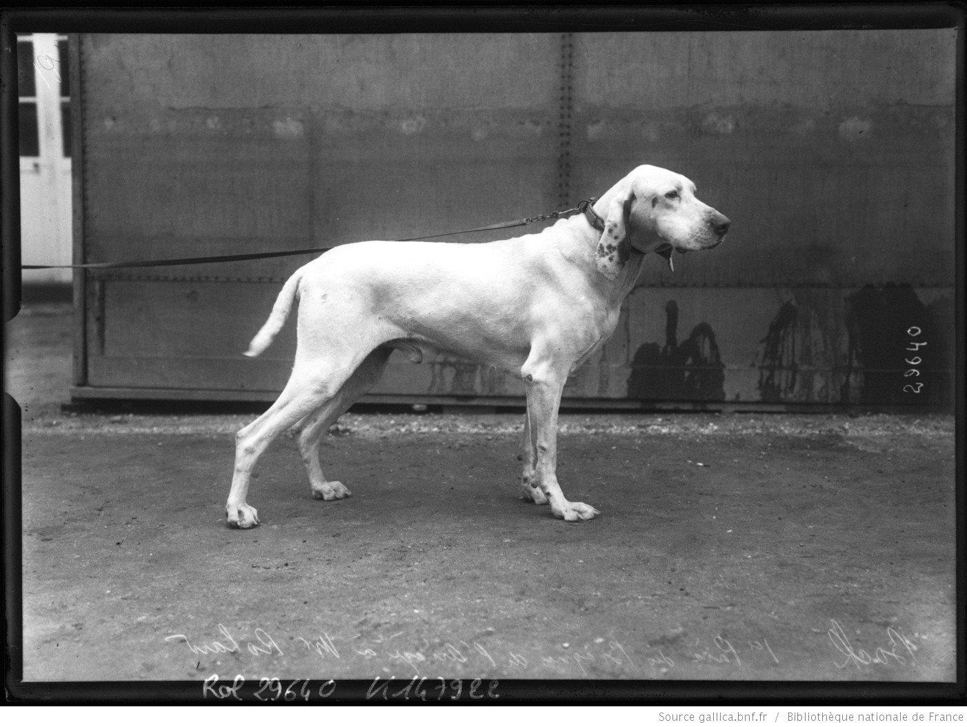 Braque de l'Ariège    at a dog show in 1913