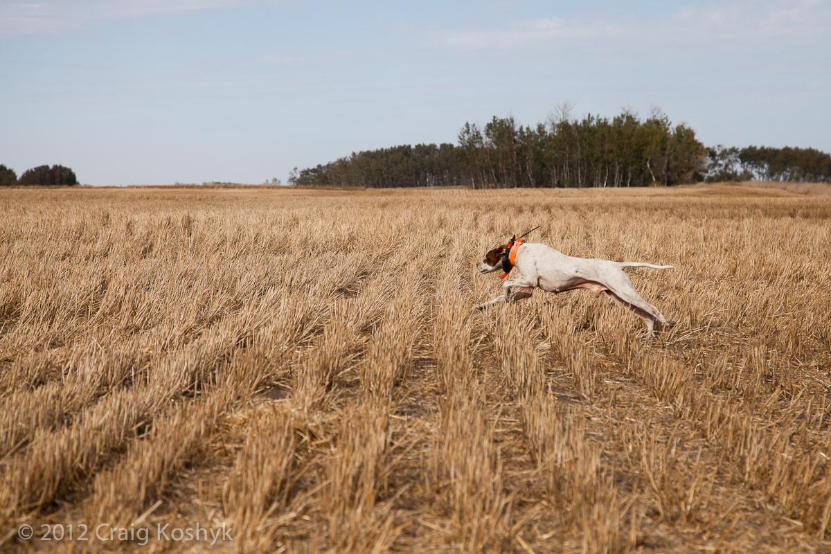 Pointer in a field trial near Broomhill, Manitoba