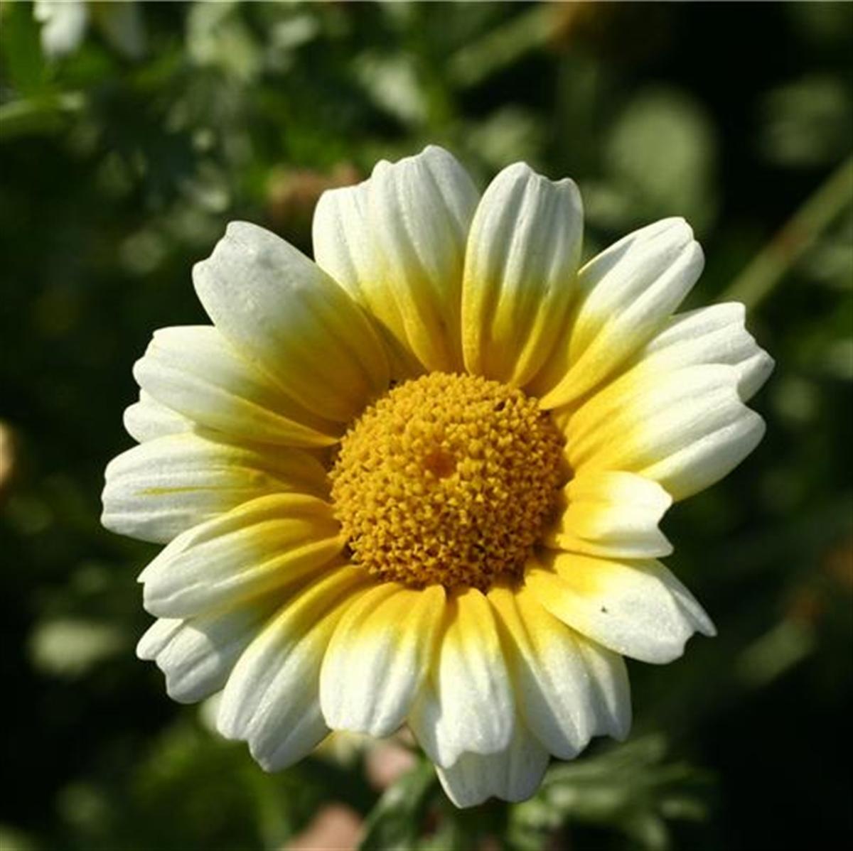 I-Autre-3353_1200x1200-chrysantheme-comestible-ab.net.jpg
