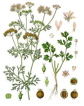 290px-Coriandrum_sativum_-_Köhler–s_Medizinal-Pflanzen-193.jpg