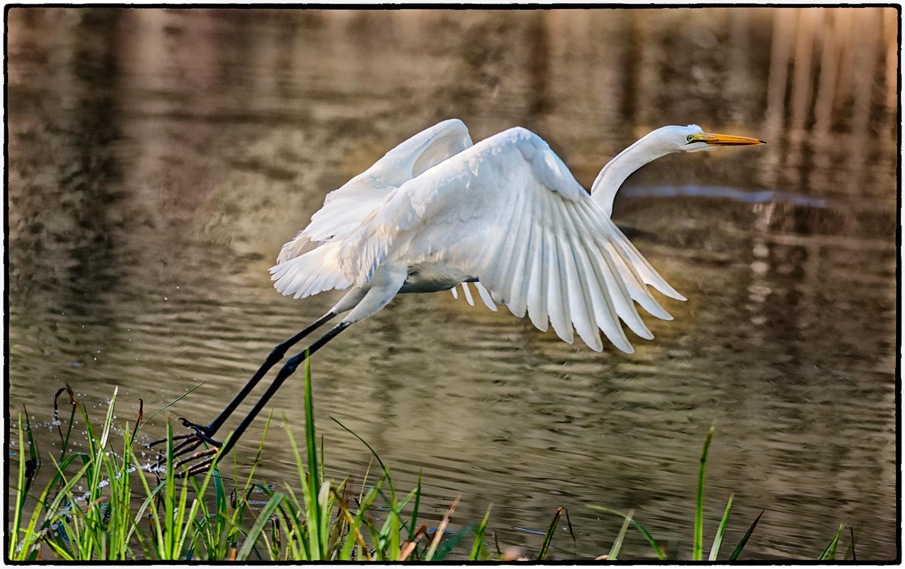 Egret, Jewel Lake, Tilden Park, Berkeley