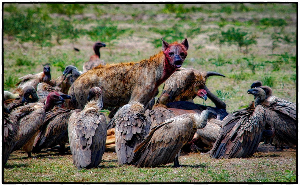 Hyena and Vultures, Selous Game Park, Tanzania