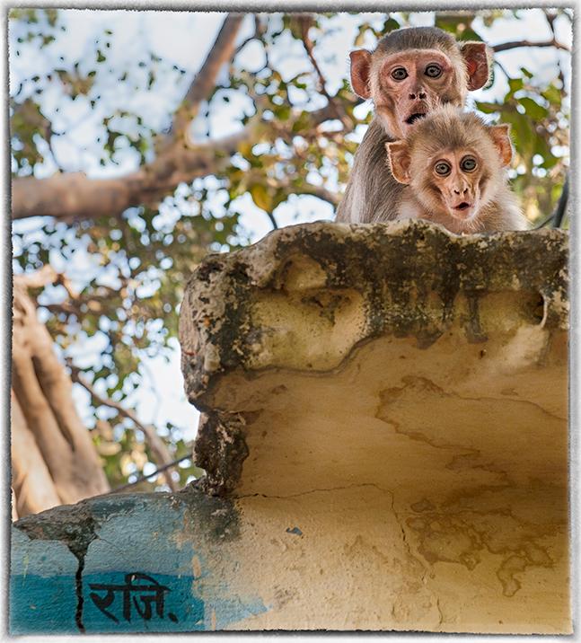 Monkeys, Varanasi, India