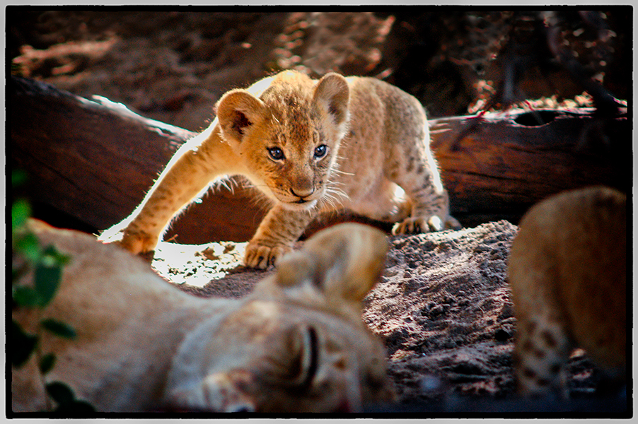 Lion Cub and Mother, Selous Game Preserve, Tanzania