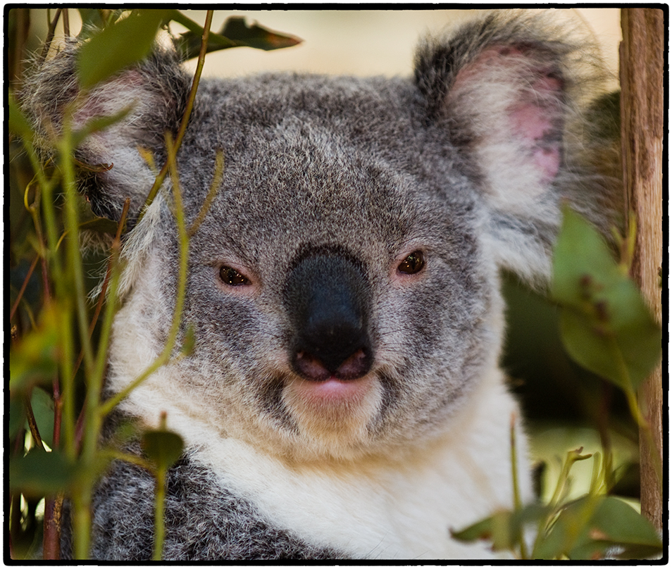 Koala, Brisbane, Australia,