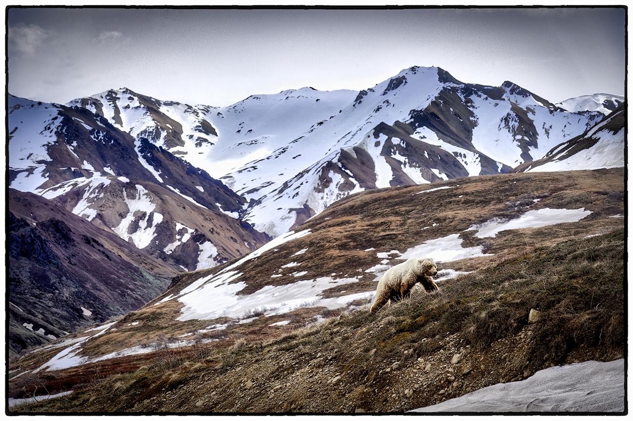 Grizzly Bear, Denali, Alaska