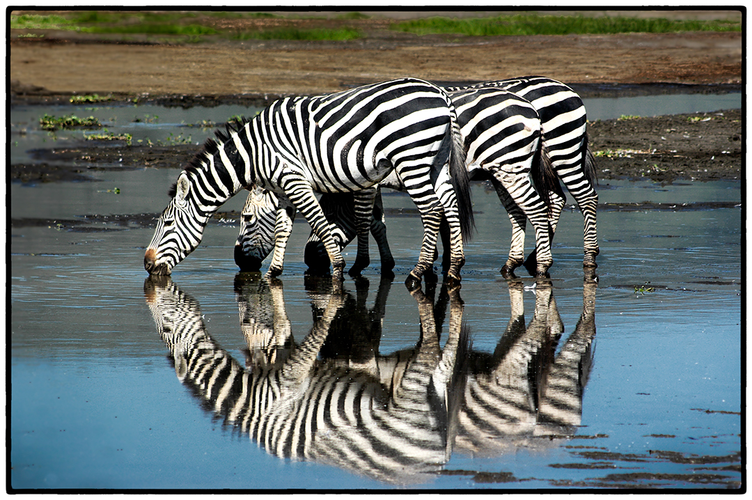 Zebras, Ngorongoro Crater, Tanzania
