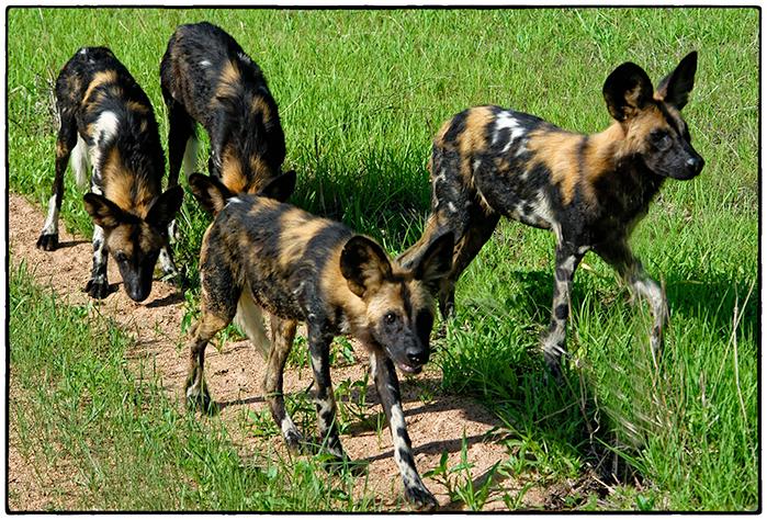 Wild Dogs, Tanzania