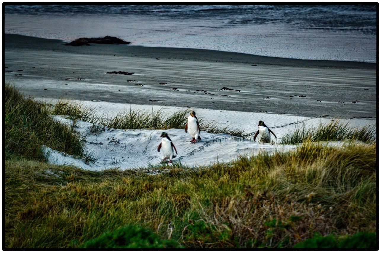 Penguins, South Island, New Zealand