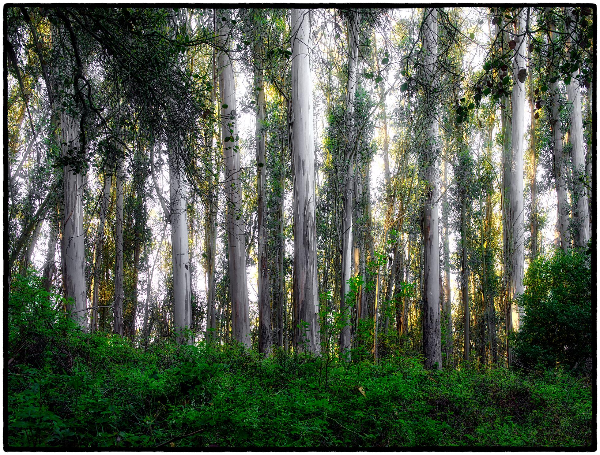 Eucalyptus Forest, Tilden Park, Berkeley, CA