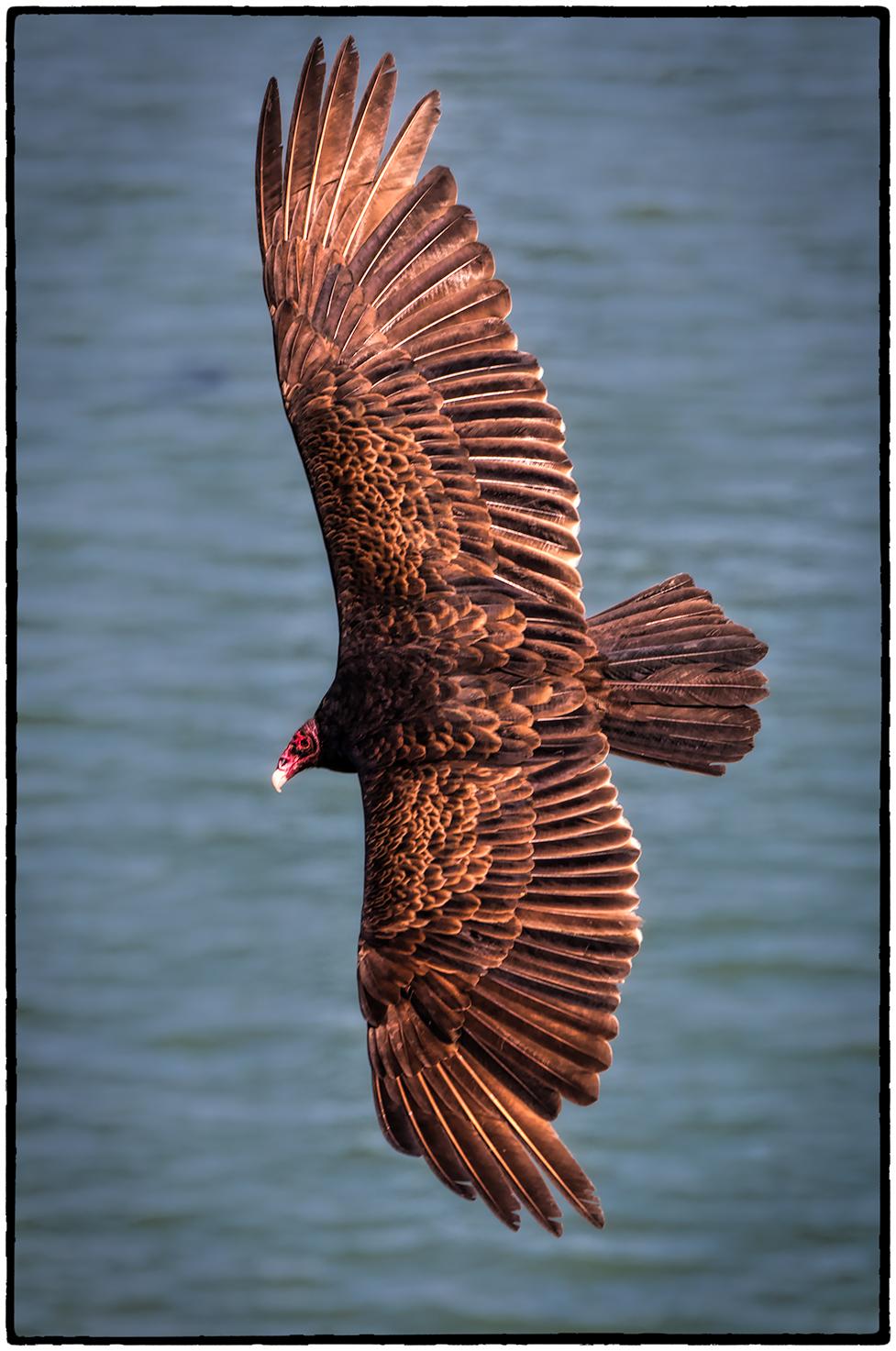 Turkey Vulture, Point Reyes, CA