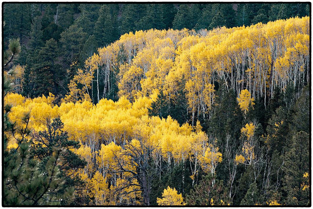 Aspens, Highway 12, Boulder Mountain, Utah