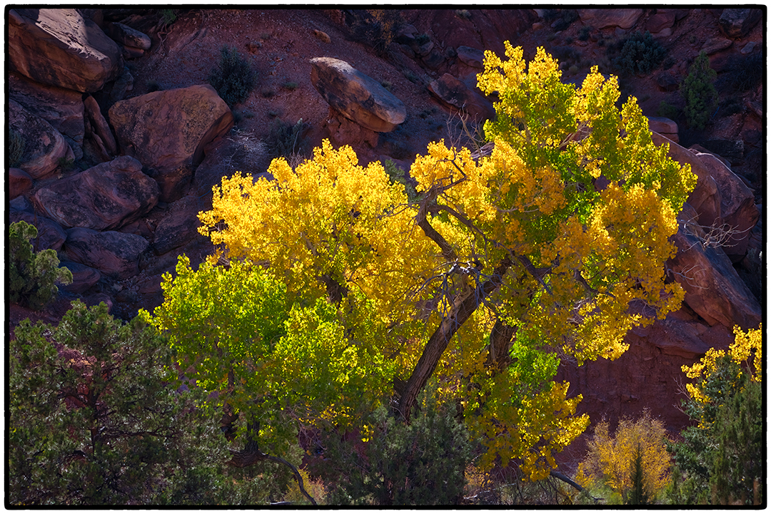 Cottonwood outside the Grand Wash, Capitol Reef National Park, Utah