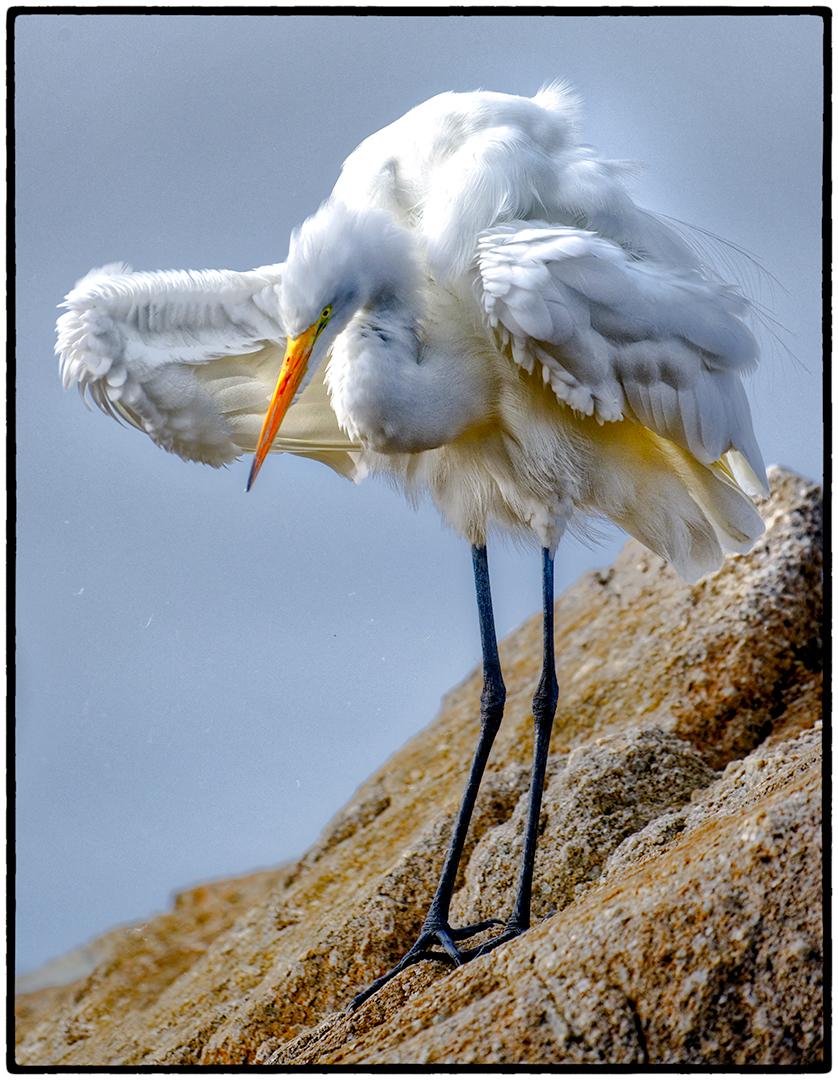 Heron, Asilomar Beach