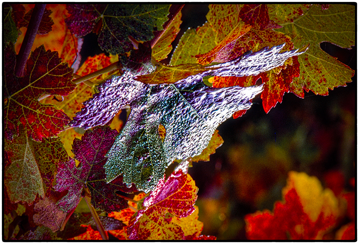 Grape Leaves, Sonoma County, 1988