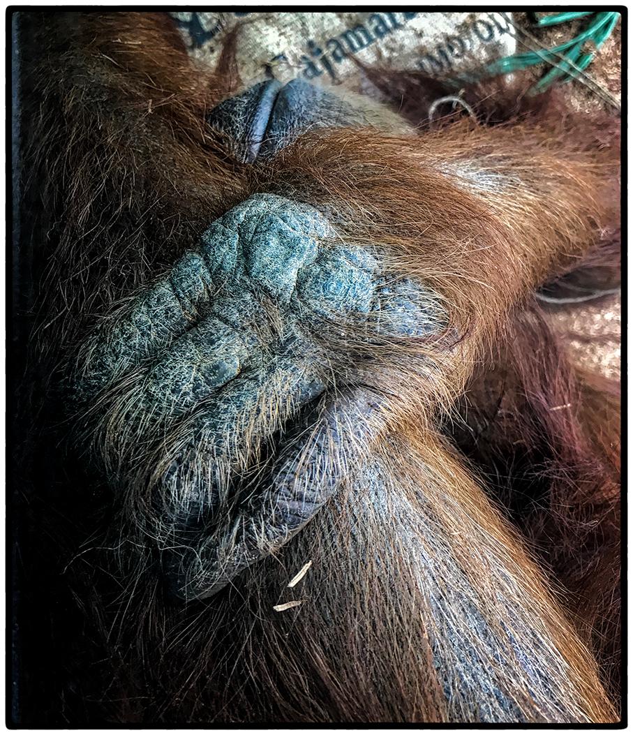 The hand of a male orangutan.