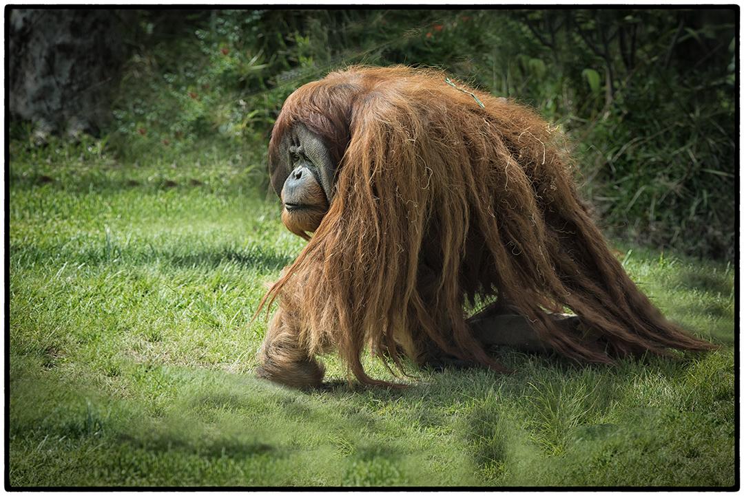 Male orangutans are twice the size of females.