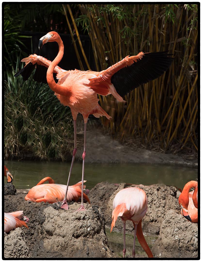 Flamingo spreading wings