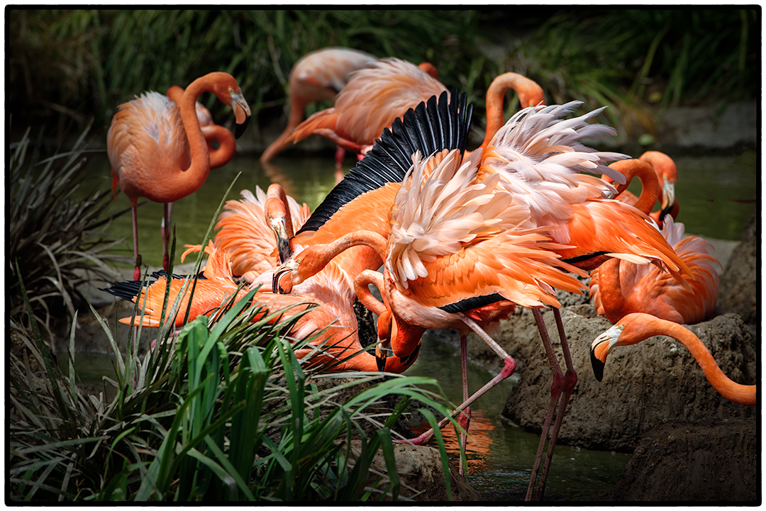 Flamingoes fighting.