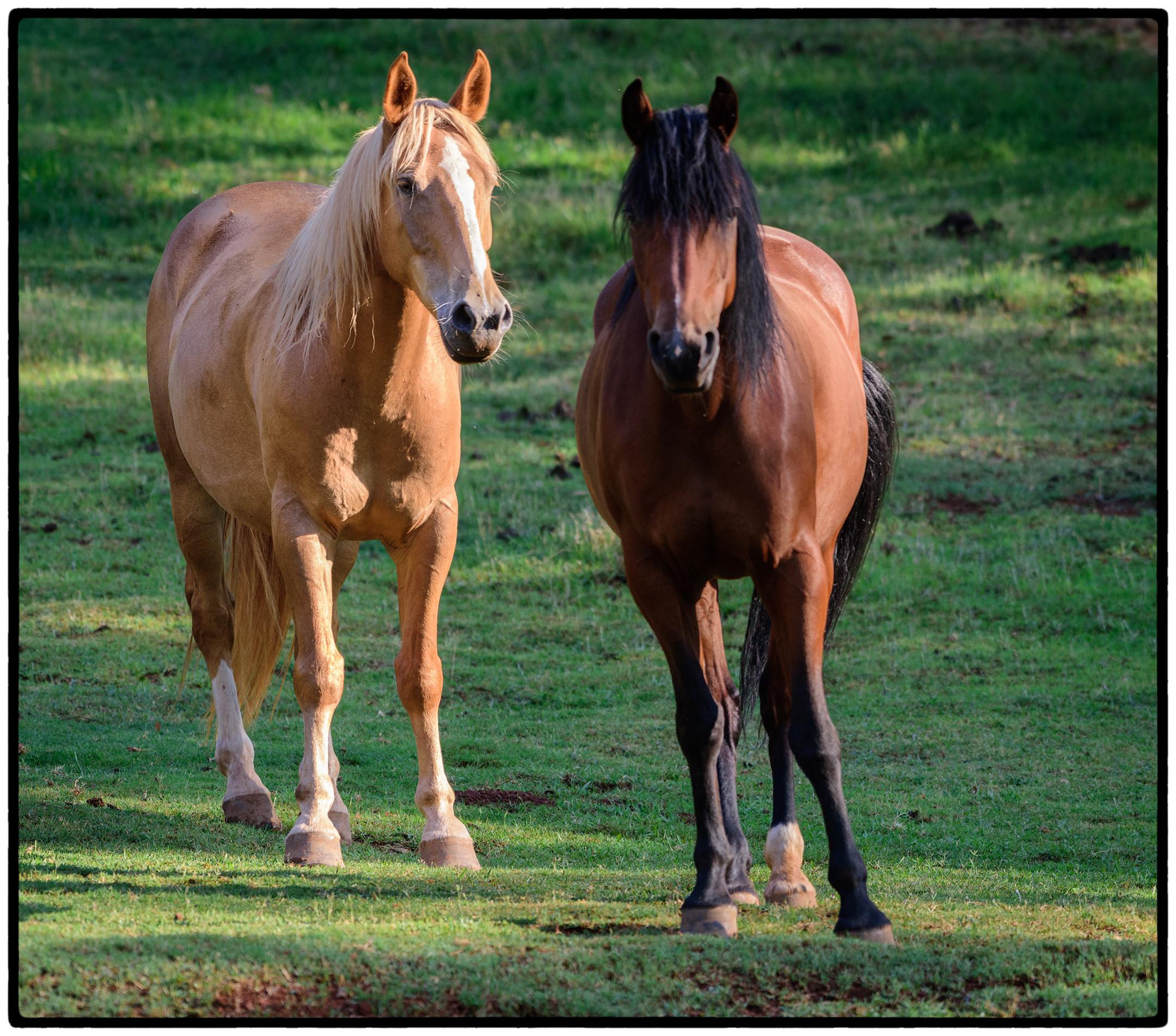 Kirby and Luna, two formerly wild mustangs